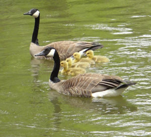 geese in the creek
